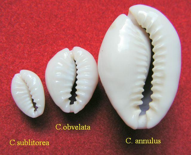 Monetaria annulus sublitorea - Lorenz, 1997 P_subl11