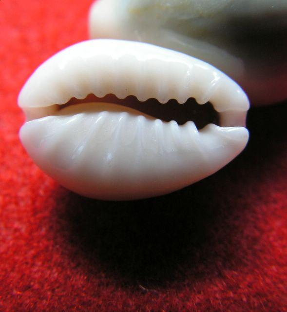 Monetaria annulus sublitorea - Lorenz, 1997 P_subl12