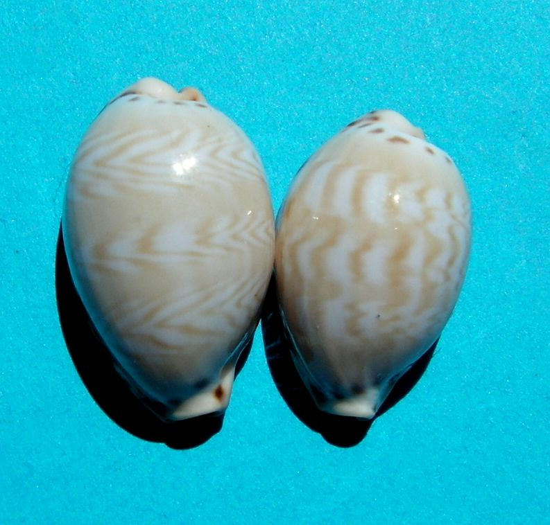 Palmadusta ziczac misella - (Perry, 1811) P_zicz12