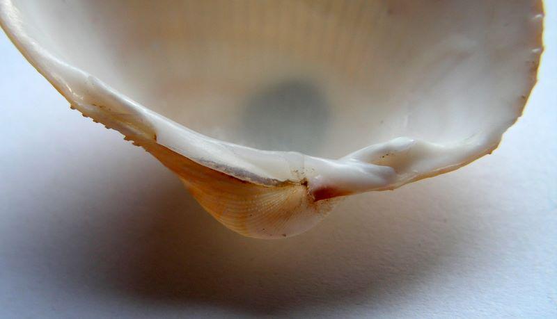 Maoricardium setosum - (Redfield, 1846) Plagse13