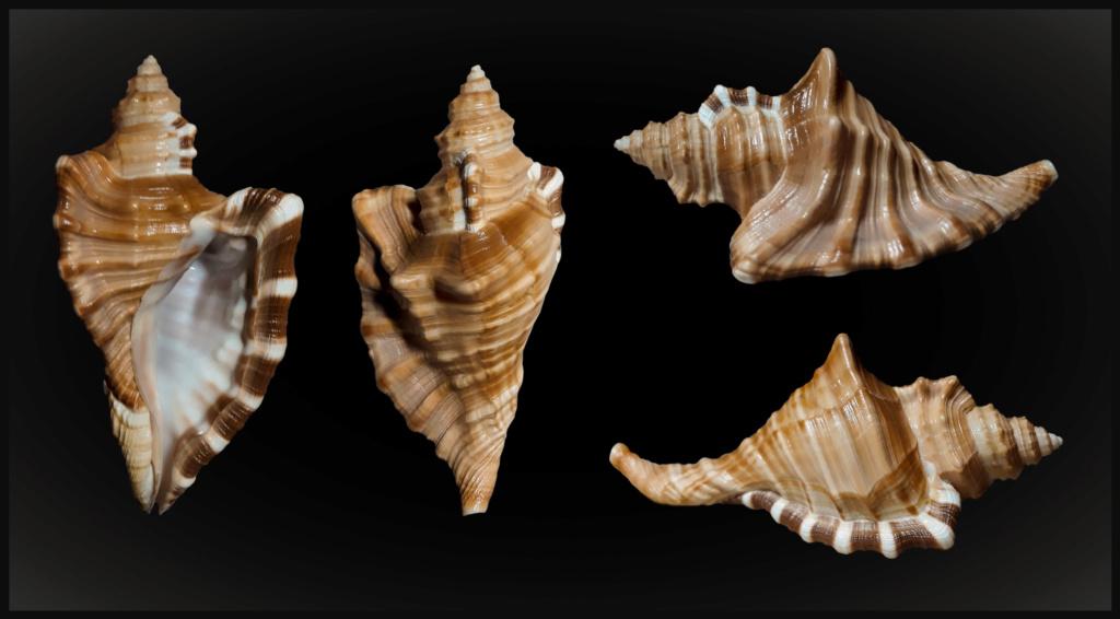 Cymatiidae Cymatium raderi  -  (D'Attilio & Myers, 1984) Raderi11
