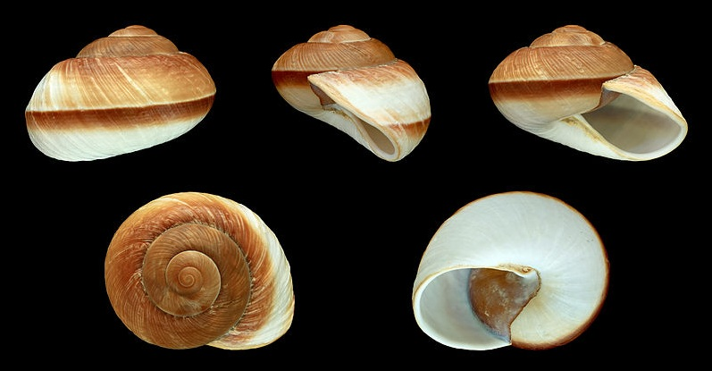 Coquille inconnue Rys0110