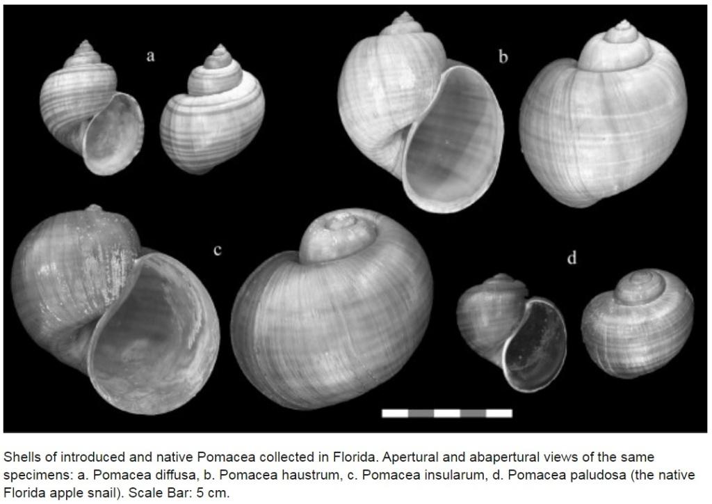 Pomacea insularum (d'Orbigny 1835) Shells10