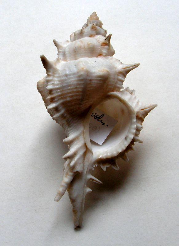 Siratus pliciferoides - (Kuroda, 1942) Sirapl10