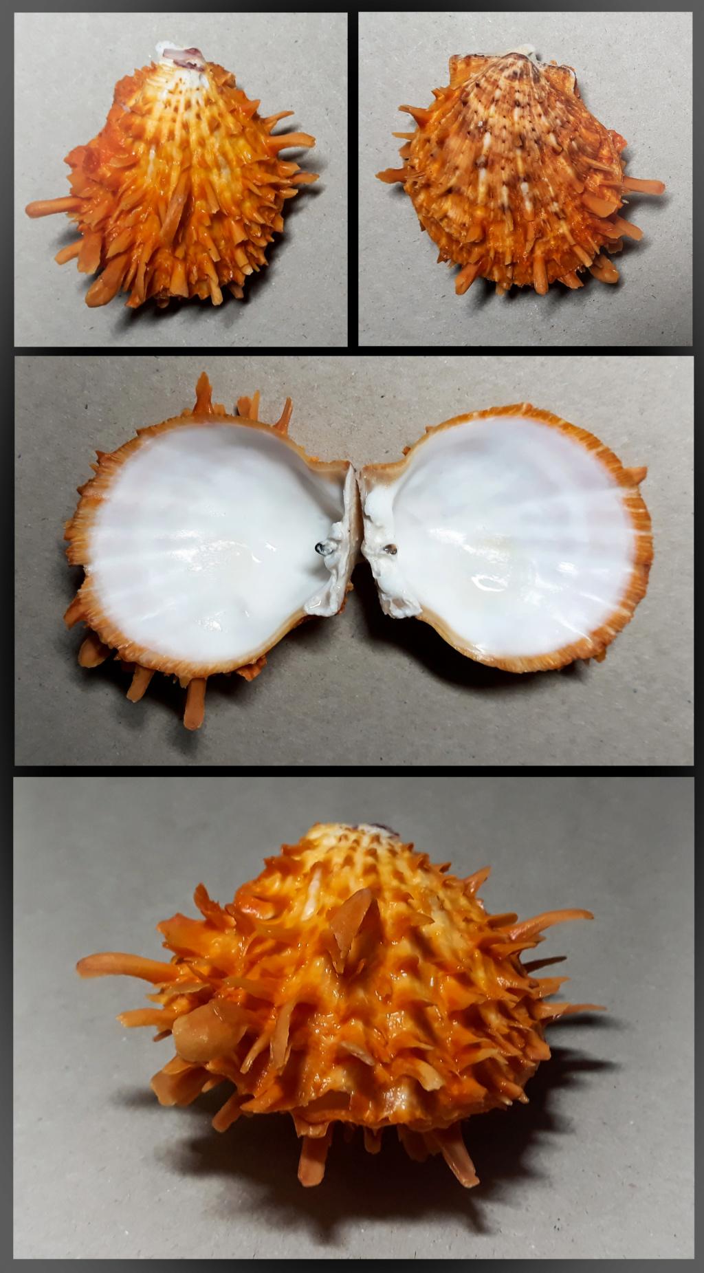 Spondylus variegatus - Schreibers, 1793 Spndl010