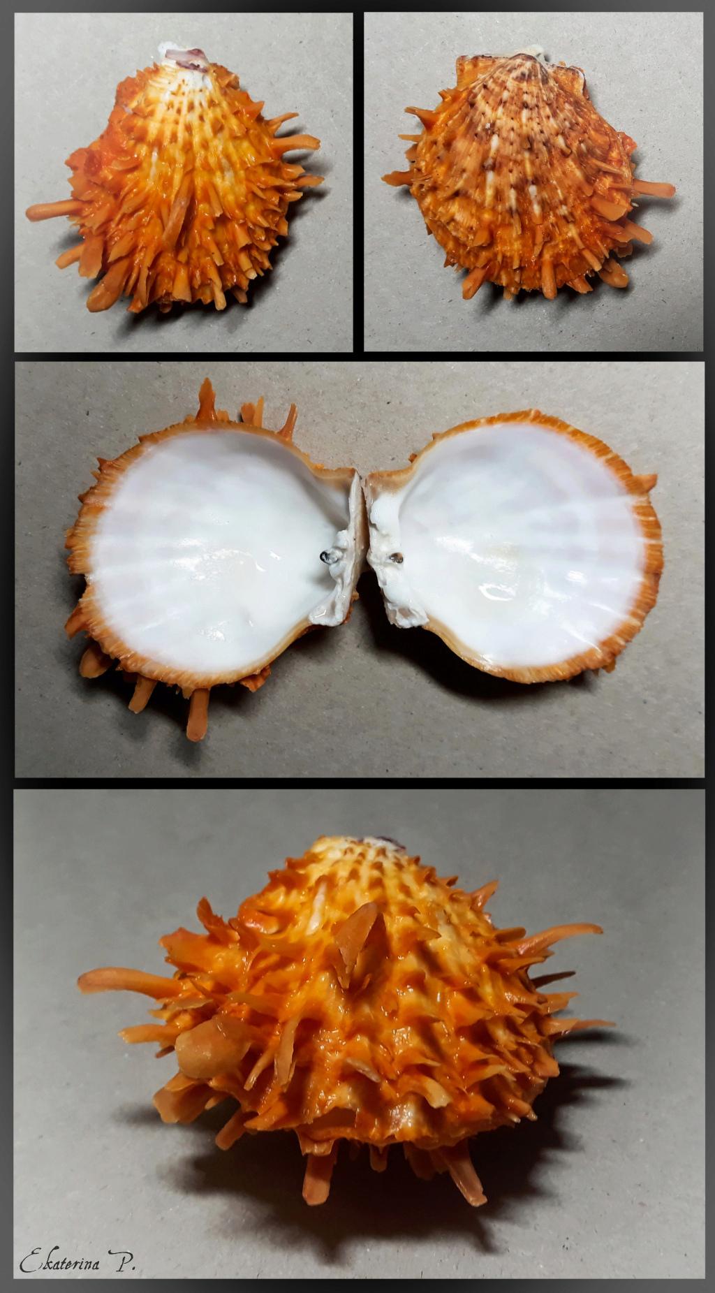 Spondylus variegatus - Schreibers, 1793 Spndl011