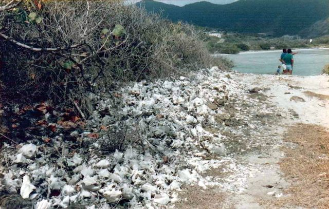 Strombidae Aliger gigas - (Linnaeus, 1758) Stmart15