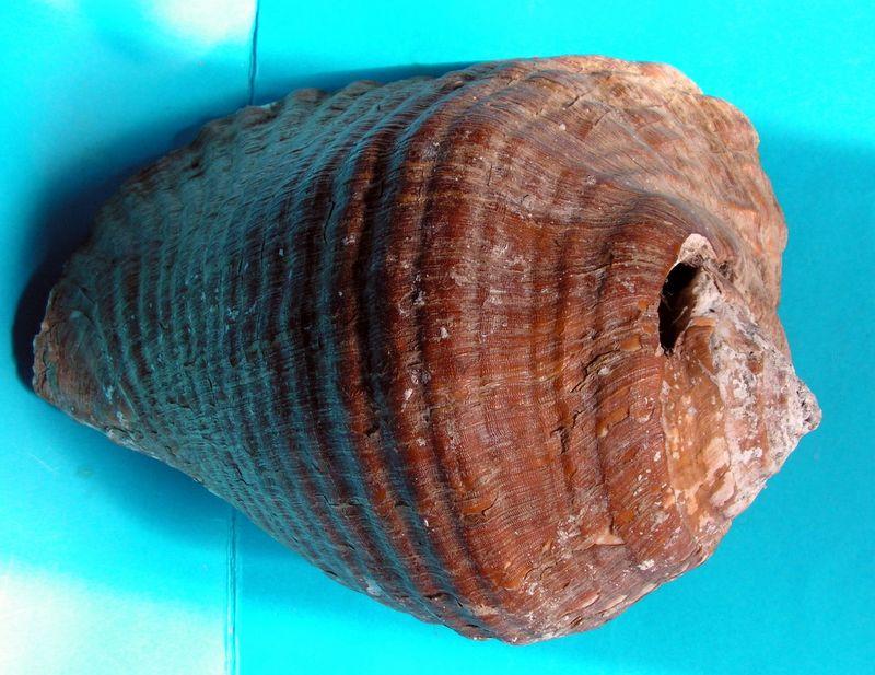 Strombidae Titanostrombus galeatus - (Swainson, 1823) Str_ga11