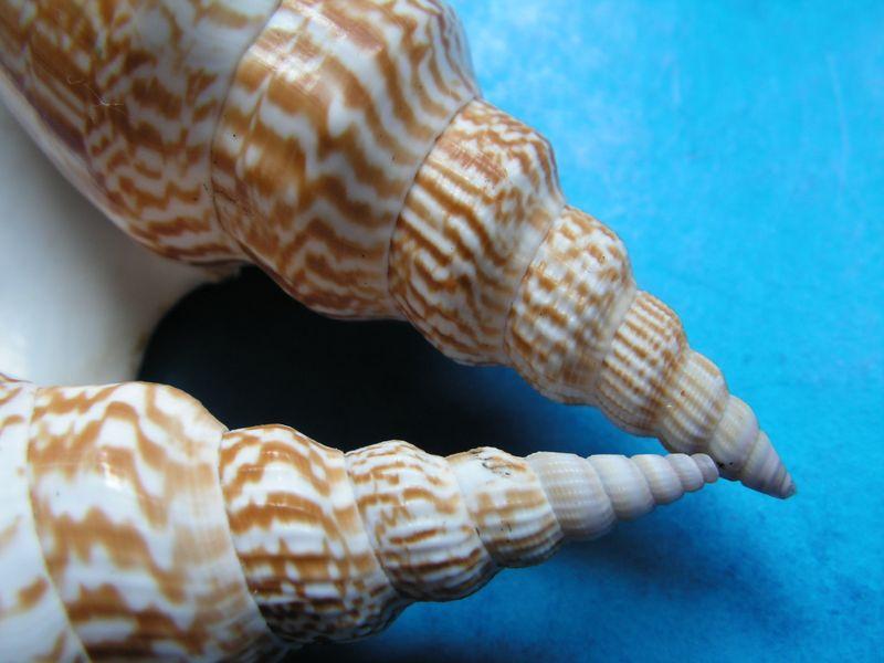 Strombidae Mirabilistrombus listeri - (Gray, 1852) Str_li11