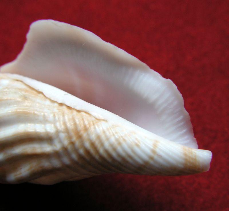 Doxander vittatus apicatus - (Man in 't Veld & Visser, 1993) voir Doxander vittatus (Man in 't Veld & Visser, 1993) Strapi10