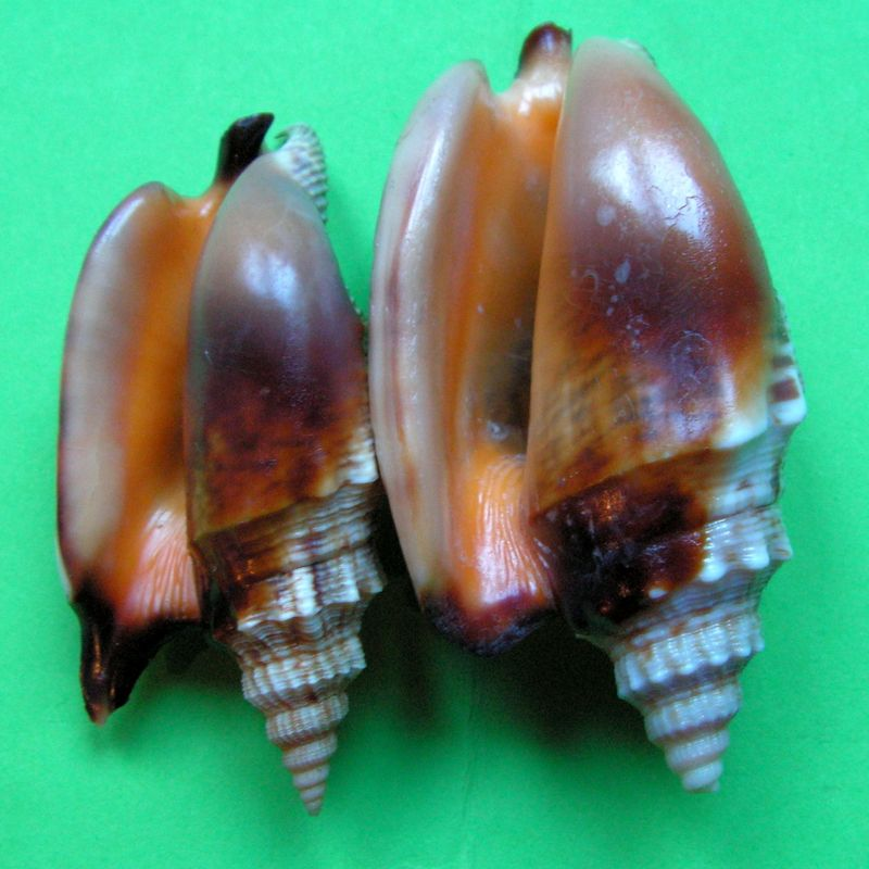 Euprotomus aratrum - (Röding, 1798) Strara10