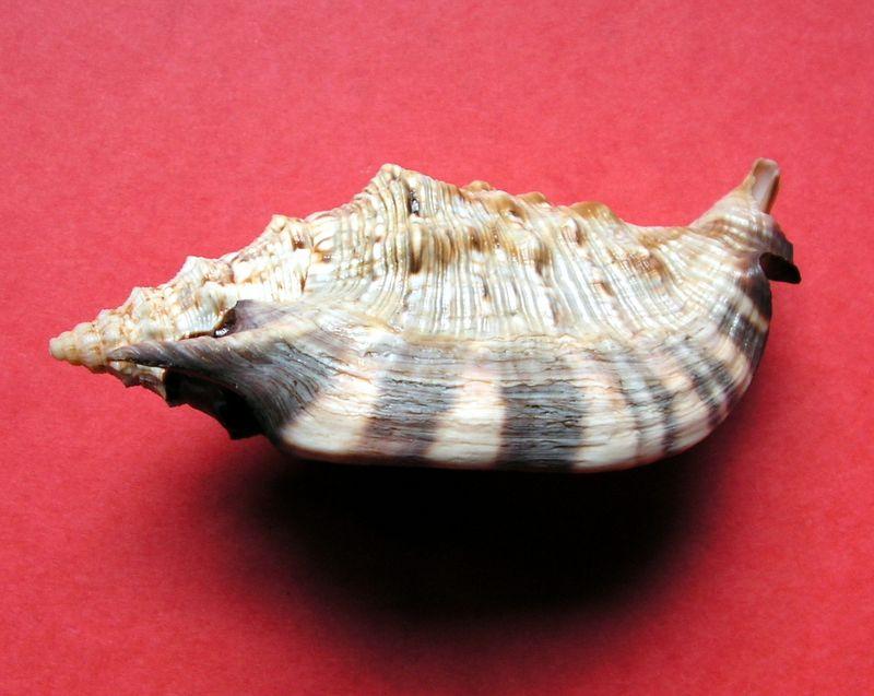 Euprotomus aratrum melanostomus - (Sowerby, 1825) Strara12