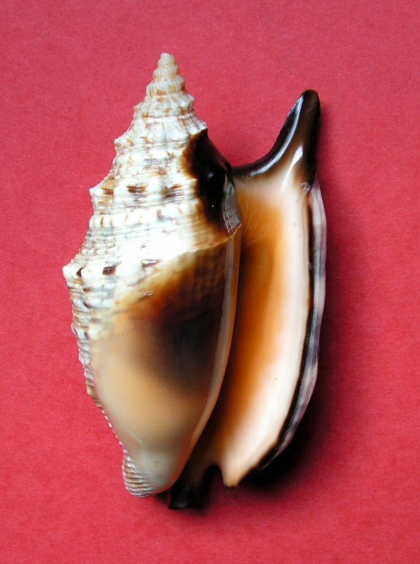 Euprotomus aratrum melanostomus - (Sowerby, 1825) Strara13
