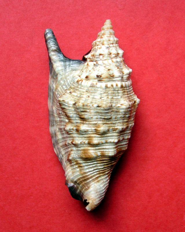 Euprotomus aratrum melanostomus - (Sowerby, 1825) Strara14