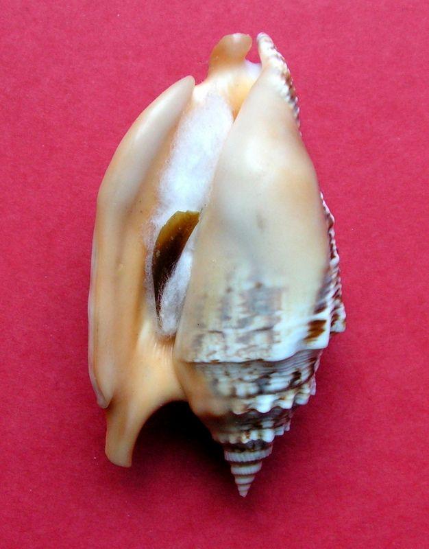 Euprotomus chrysostomus - (Kuroda, 1942) Strara18