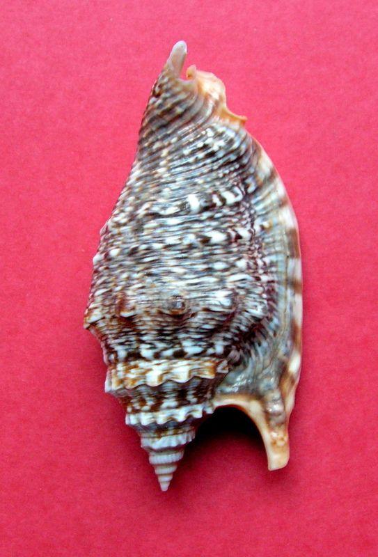 Euprotomus chrysostomus - (Kuroda, 1942) Strara19