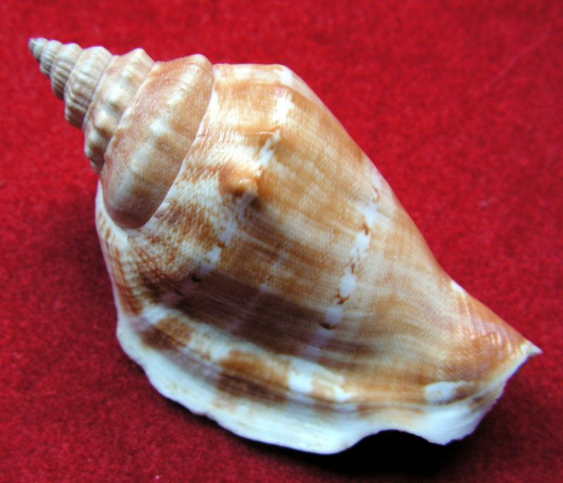 Dolomena dilatata - (Swainson, 1821) Strdil11