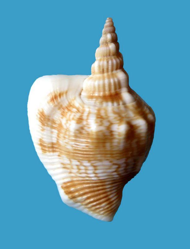 Dolomena plicata sibbaldi - (G. B. Sowerby II, 1842) Strdos10