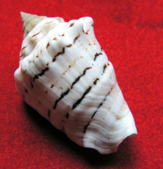 Conomurex fasciatus - (Born, 1778)  Strfas10