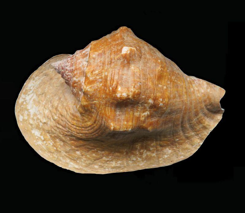 Strombidae Titanostrombus goliath - (Schröter, 1805) Strgol11