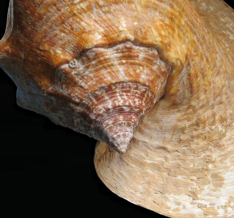Strombidae Titanostrombus goliath - (Schröter, 1805) Strgol12