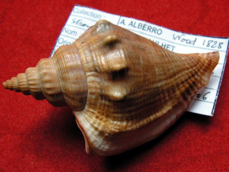 Dolomena labiosa - (Wood, 1828) Strlab11