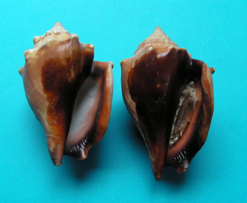 Strombus alatus - (Gmelin, 1791) Stroal10