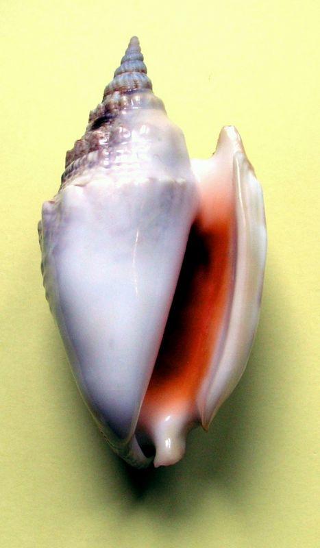 Euprotomus aurora - Kronenberg, 2002  Stroau10