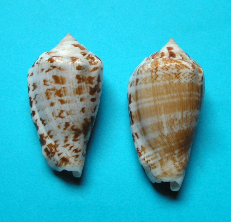 Conomurex decorus - (Röding, 1798) Strode10