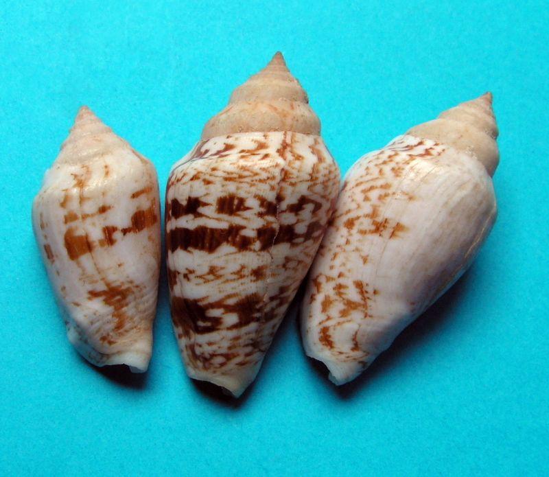 Conomurex persicus - (Swainson, 1821) Stromp10