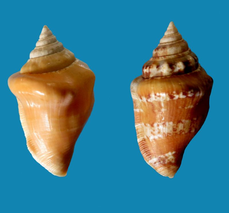 Canarium mutabile f. rufescens - Prelle, 2006 Stromu10