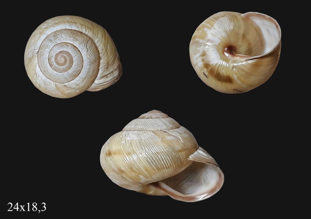 Caucasotachea vindobonensis (Pfeiffer, 1828) T000210