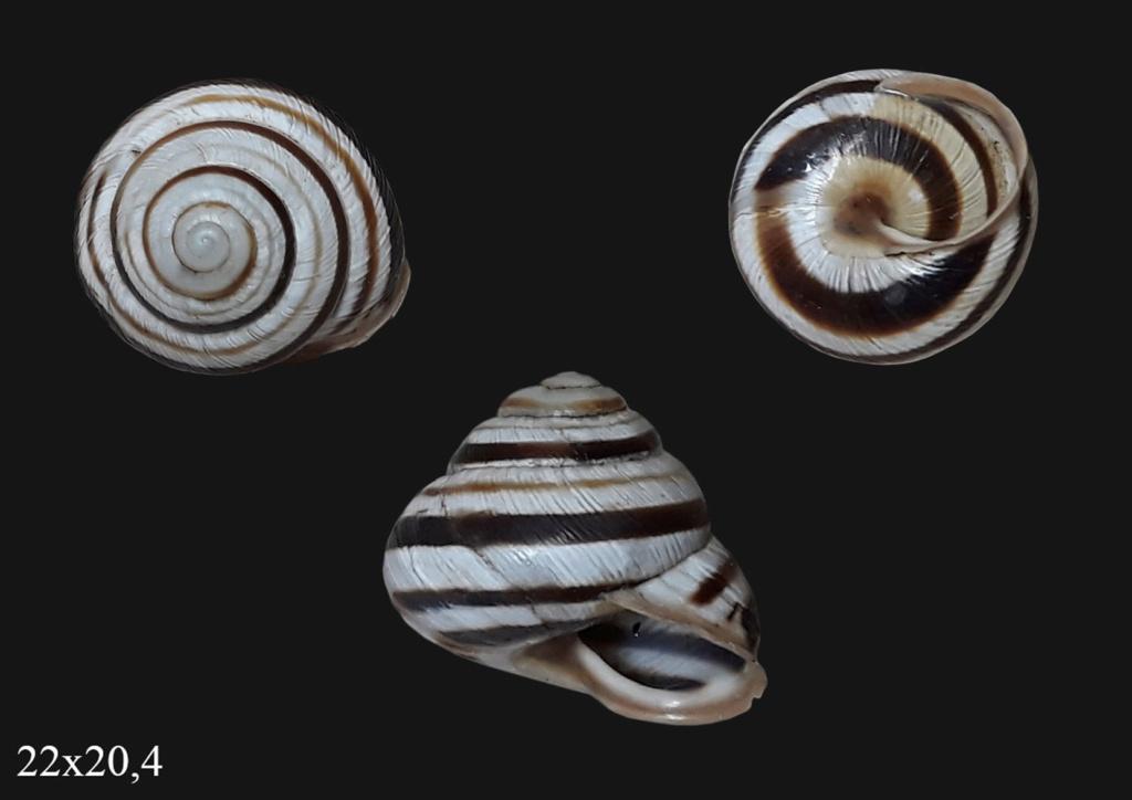 Caucasotachea vindobonensis (Pfeiffer, 1828) T000510
