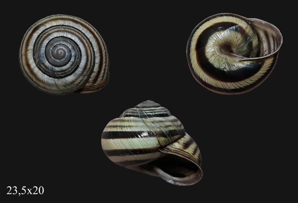 Caucasotachea vindobonensis (Pfeiffer, 1828) T0040011