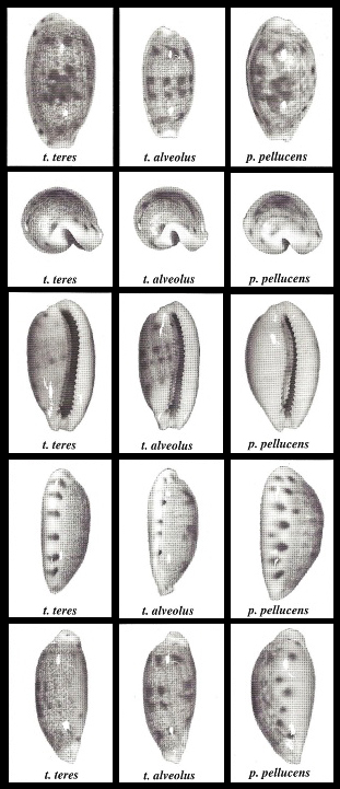 Talostolida_pellucens_pellucens_(Gmelin_1791) Talost10