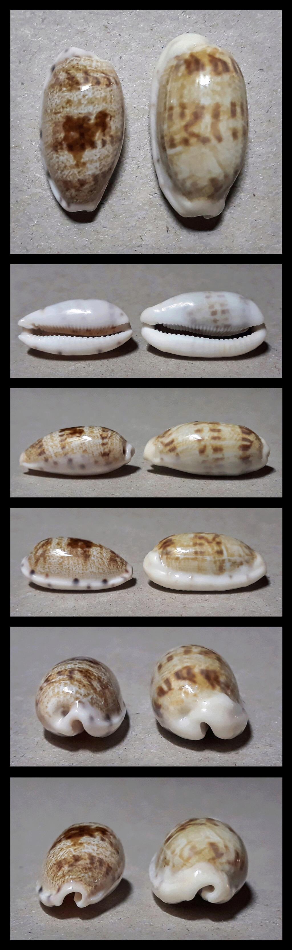 Talostolida pellucens pellucens - (Melvill, 1888) & Talostolida teres teres (Gmelin, 1791) Terpel11