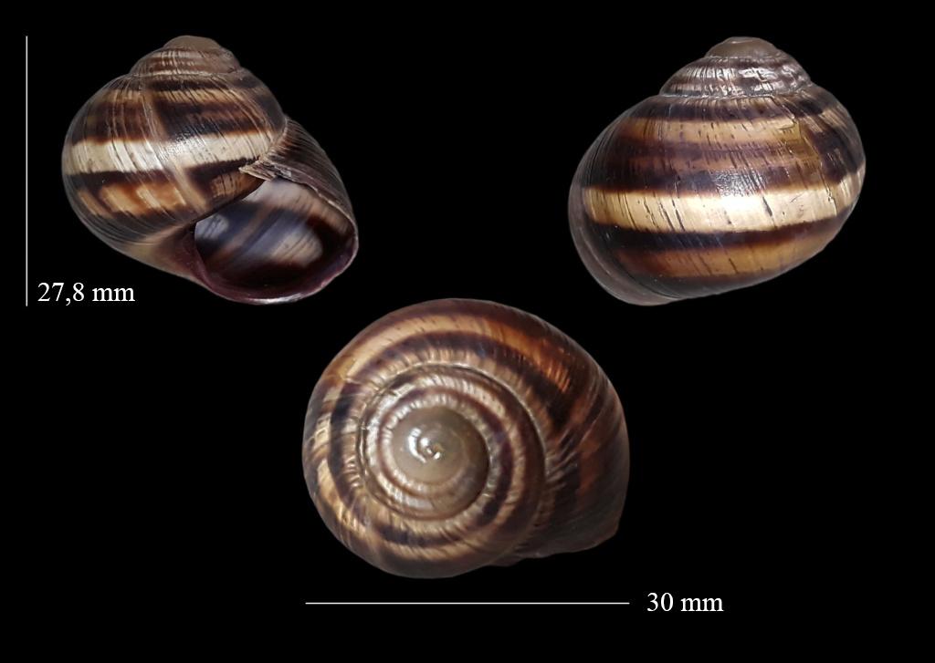 Helix albescens (Rossmässler, 1839) Terr0110