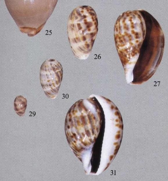 Mauritia_mauritiana_(Linnaeus_1758)_juvénile Tigris10