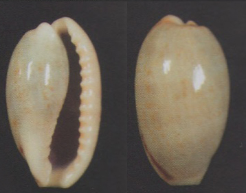 Erronea caurica elongata - (Perry, 1811) - Page 2 Tulear11