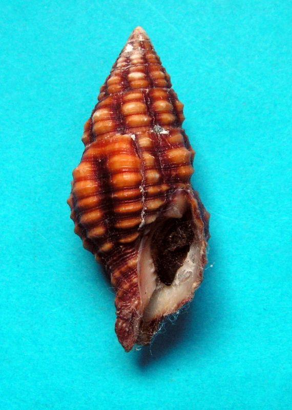 Turrilatirus sanguifluus - (Reeve, 1847) Turrsa12