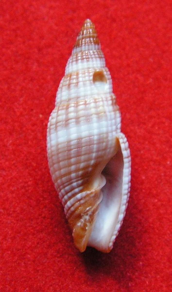 Vexillum granosum - (Gmelin, 1791) Vexigr11