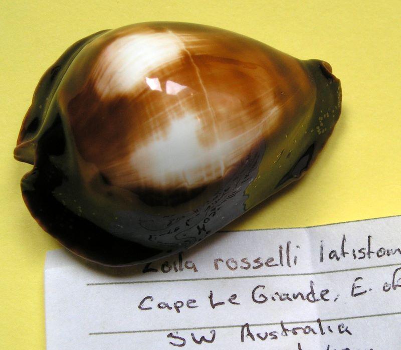 Zoila rosselli latistoma - Lorenz, 2002 Zoiros10