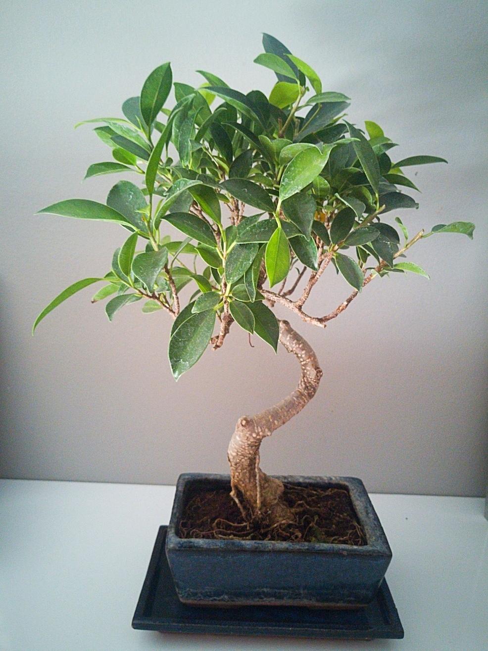 Bonsai ficus retusa  Tempne10