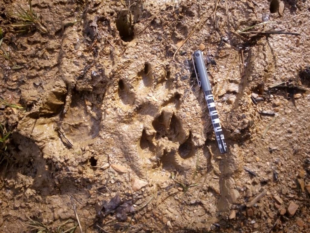 Lobos ibéricos e íbice de beceite Img-2011
