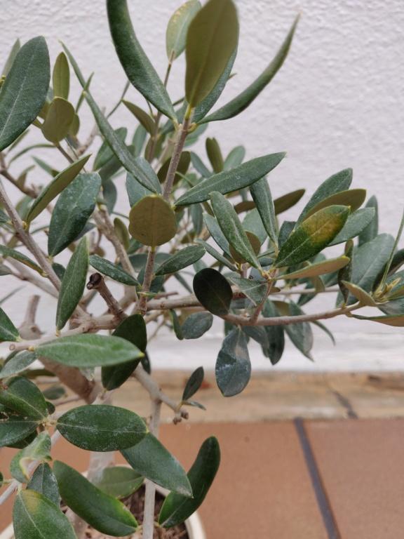 Manchas amarillas en las hojas del olivo Img_2014
