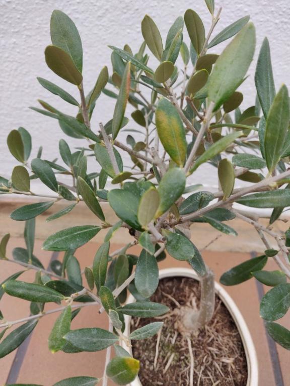 Manchas amarillas en las hojas del olivo Img_2015