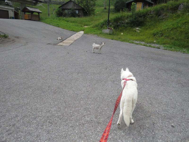 Yocco et Anook dans les Alpes 20_yoc10