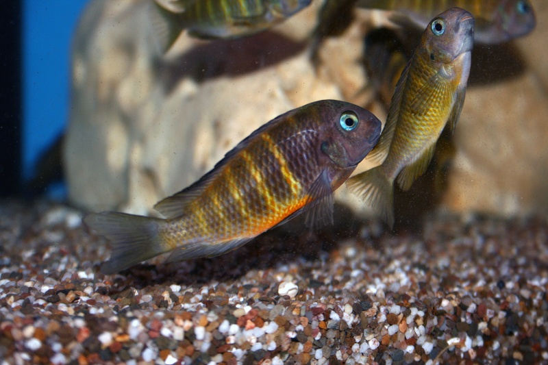 Tropheus sp. black Ubwari Green Trophe14