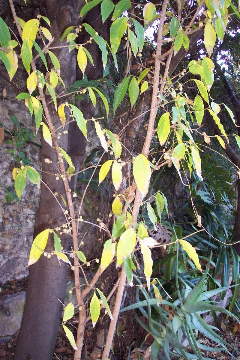 semis de Chimonanthus praecox Calyca10