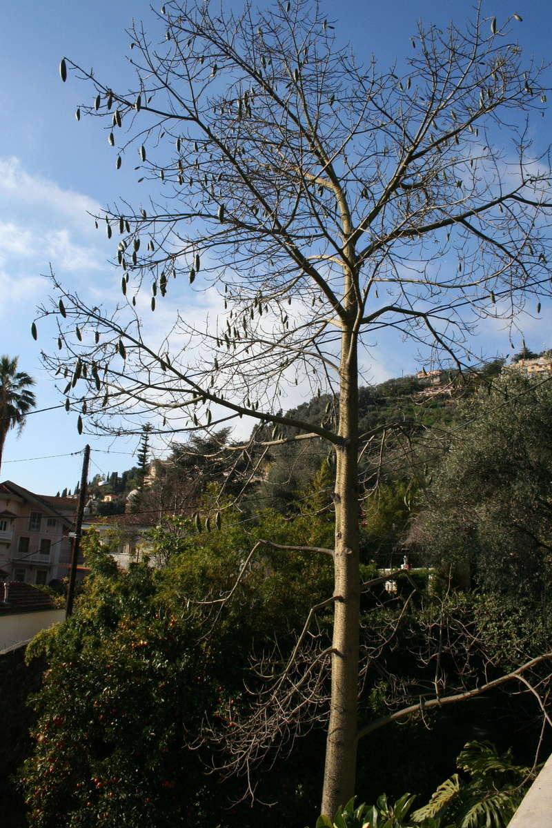 Ceiba speciosa (= Chorisia speciosa) Choris10
